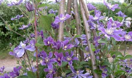 Как вырастить выносливый клематис из семян?