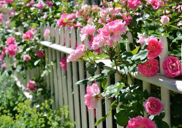 Как и чем подкармливать розы в летнюю и осеннюю пору?