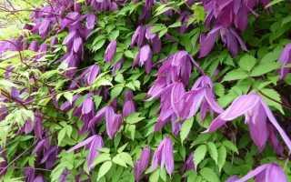Дополняем сад княжиками: посадка, подкормки, обрезка