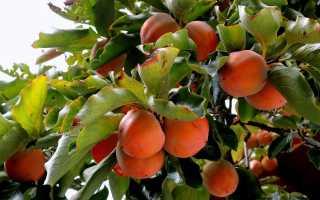 Выращивание полезной хурмы дома: от посадки до формирования кроны