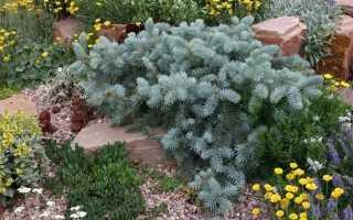 Хвойные растения для безупречности сада: примеры композиций и сочетаний