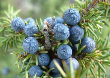 Плоды можжевельника – концентрат пользы