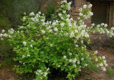 Посадка садового чубушника и последующий уход