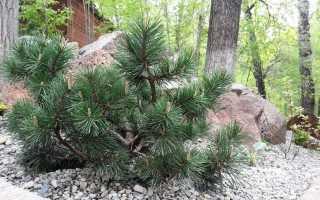 Низкорослые сосны: сорта, преимущества, правила выращивания