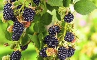 Ежевика Торнфри с высокой урожайностью: описание сорта и уход
