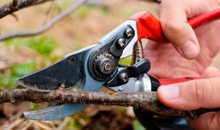 Весна и осень – благоприятная пора для обрезки жимолости