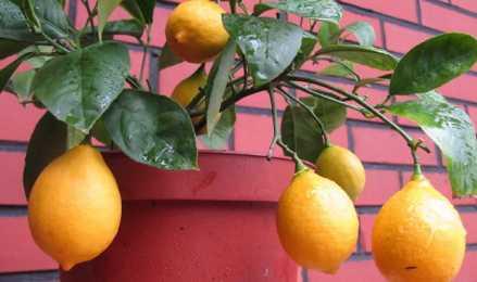 Как провести прививку лимона на отлично?