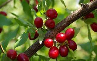 Сладкий и полезный кизил: ценные свойства сушеной ягоды