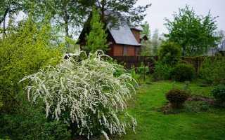 Лучшие сорта спиреи для участка с весенним и летним цветением
