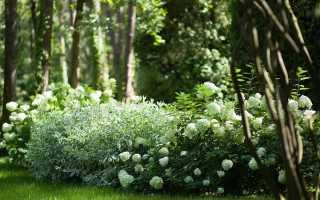 Дерен белый: сорта Элегантиссима и Сибирика для ландшафтного дизайна