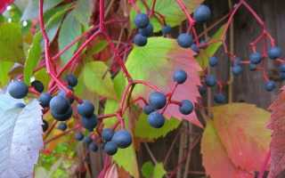 Девичий виноград в качестве садового гостя: темпы роста, посадка, размножение