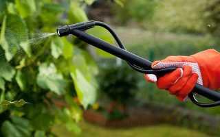 Мучнистая роса на садовой смородине: признаки, лечение, профилактика