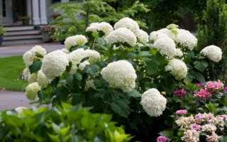 Цветущая гортензия Анабель для новичков и опытных садоводов