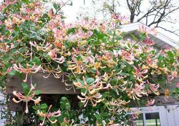 Вьющаяся жимолость: декоративные сорта, посадка, размножение