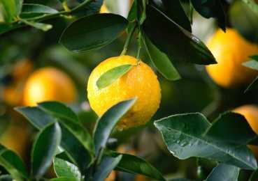Лимонное дерево: правила черенкования и семенное размножение
