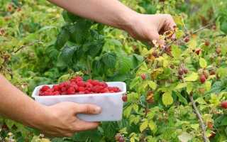 Подкормка садовой малины с весны до осени