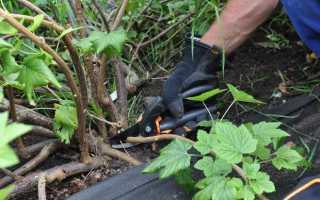 Как размножать смородину зелеными и одревесневшими черенками?