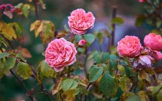 Видео и инструктаж по обрезке и укрытию роз