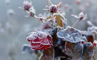 Подготовка садовых роз к зиме: обрезка, обработка, способы укрытия