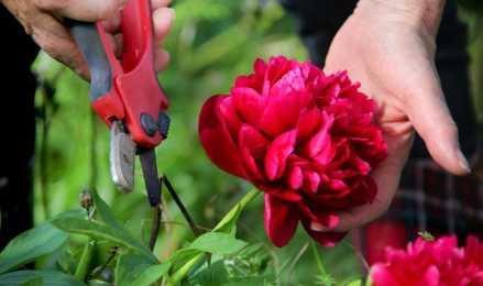Пион древовидный – полувековой цветущий долгожитель