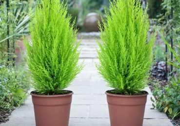 Комнатный кипарис: учимся ухаживать за ароматным хвойником