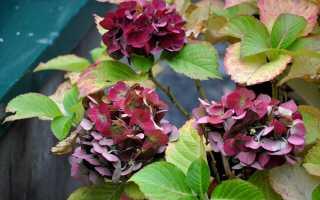 Подготовка садовой гортензии к зиме: подкормки, обрезка, укрытие