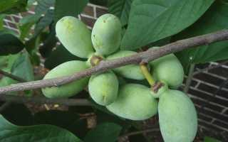 Выращивание азимины в саду и на подоконнике
