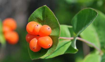 Жимолость Каприфоль: секреты выращивания ароматной лианы
