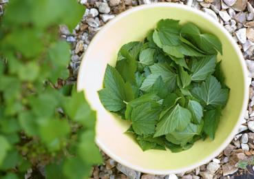 Листья черной смородины: польза лета для поддержания иммунитета