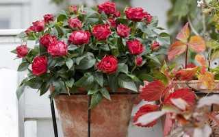 Уход за домашней розой: условия содержания, подкормки, пересадка