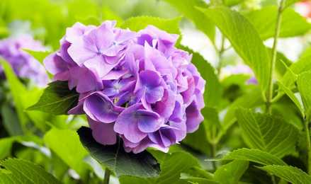 Чем подкормить садовую гортензию весной, летом и в осеннюю пору?