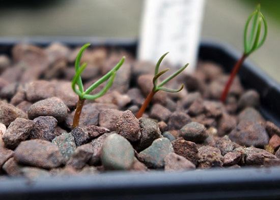хвойник из семян