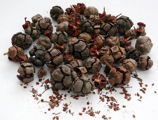 Семена хвойника для посадки
