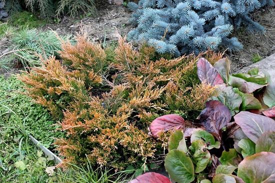Цвет хвои после первого мороза