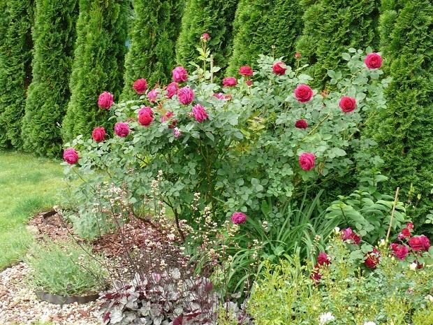Соседство низкорослого можжевельника с розами и туей