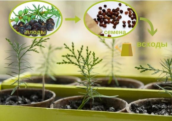 Цикл выращивания молодых хвойников