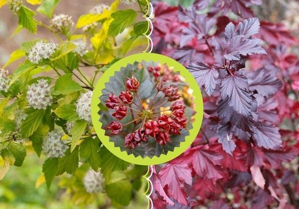 Соцветия и плоды