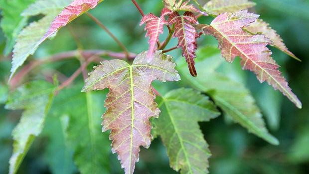 Молодая листва Гиннала
