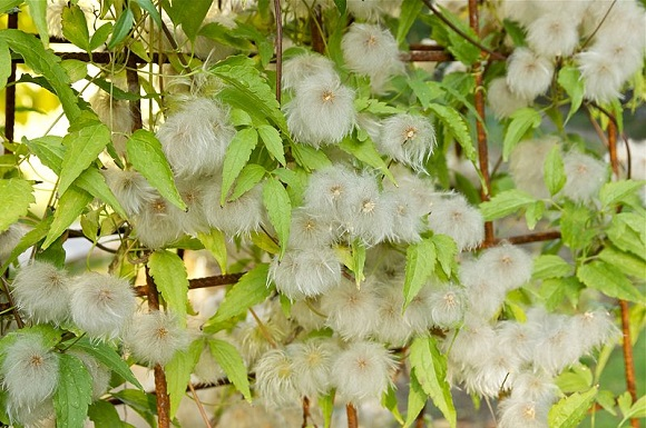 Головки, образующиеся на побегах после цветения