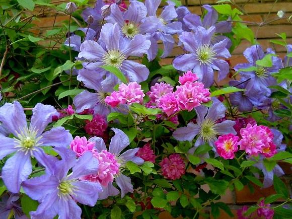 Клематис в сочетании с плетистой розой