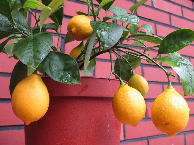 Домашние лимончики