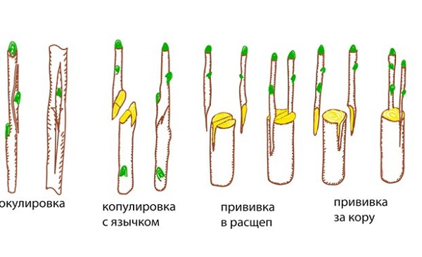 Методы привития цитрусовых