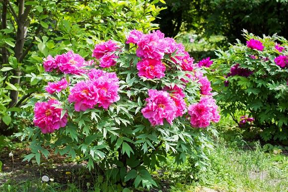 Куст в разгар цветения