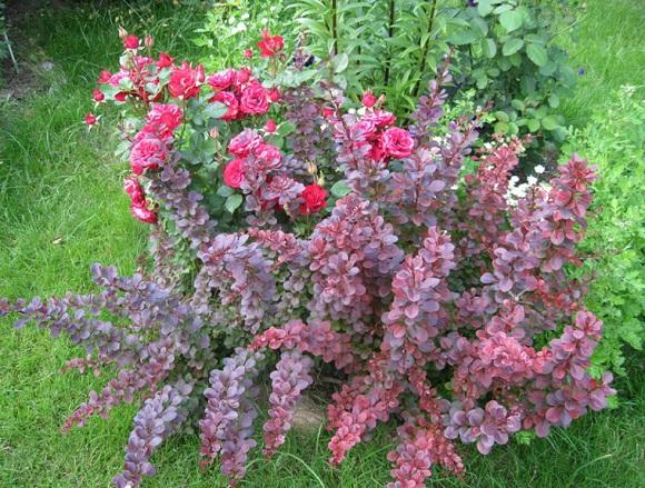Барбарис Тунберга с розами