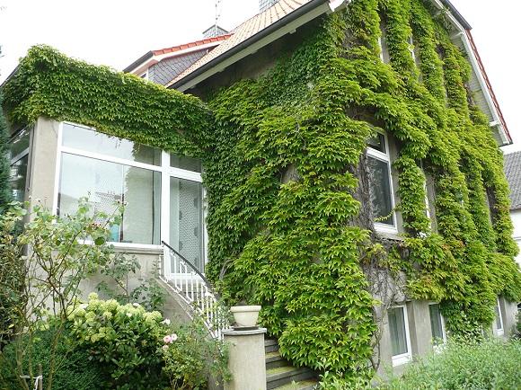 Украшение зеленым покровом стен дома