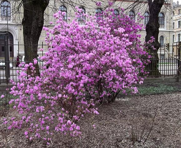 Сорт с фиолетовыми соцветиями