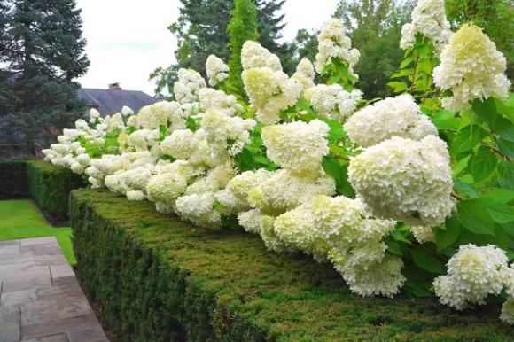 Соцветия метельчатой гортензии