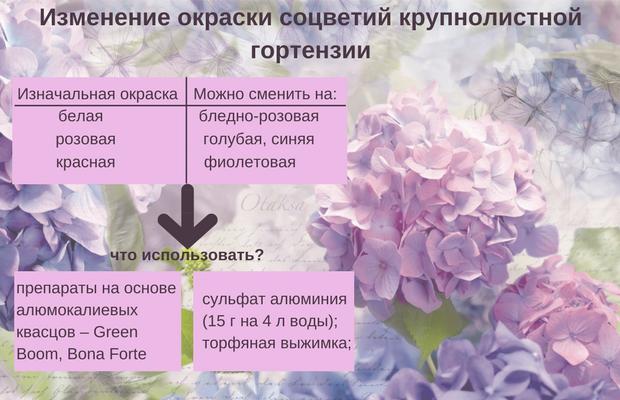 сменить окраску гортензии