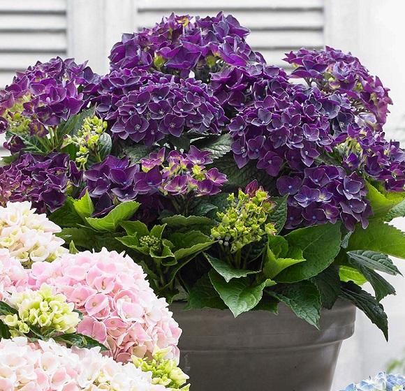 Сорт Purple Dance для открытого грунта и домашнего выращивания