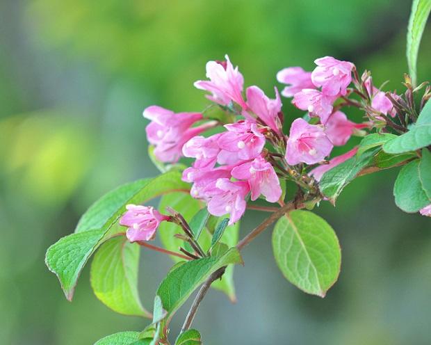 цветение дейции